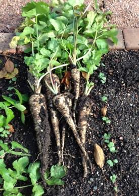 PHOTO: Freshly dug parsnips.