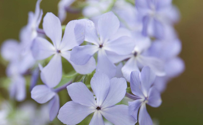 Seeking out the Elusive Wild Phlox