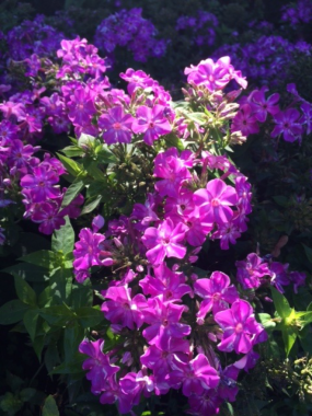 PHOTO: Phlox paniculata 'Barfourteen' Purple Flame® garden phlox.