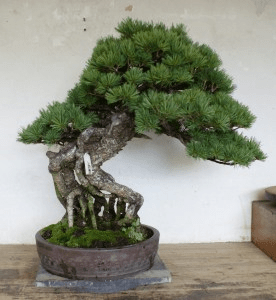 PHOTO: Pre-wintered bonsai pine.