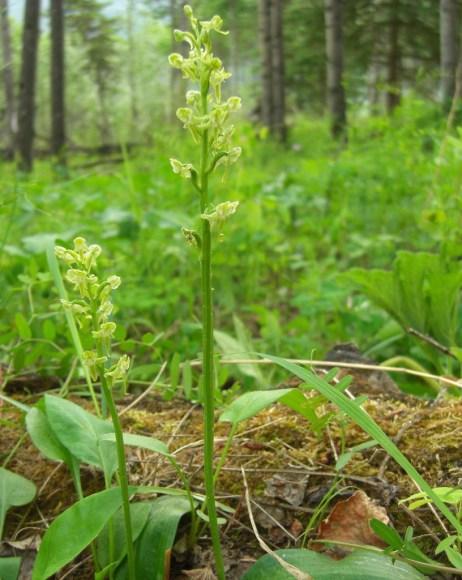 "The ""aromatic"" Platanthera_obtusata, photographed by Jason Hollinger"