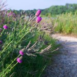 Flowers bloom at the side of the Dixon Prairie path in July.