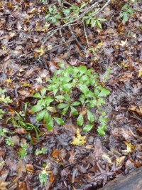 PHOTO: Quercus ogelthorpensis seedlings in Jasper Country, Georgia