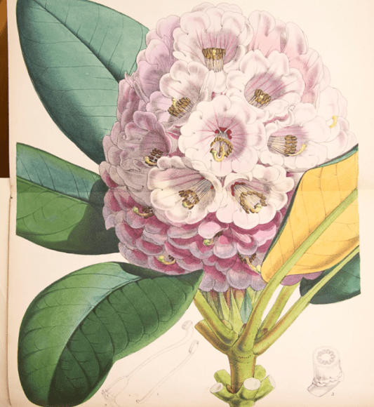 ILLUSTRATION: Rhododendron hogsonii.