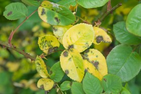 PHOTO: Black spot infects rose foliage.