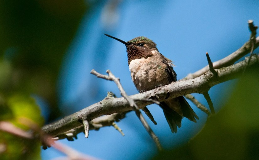 Ruby-throated hummingbird migration begins