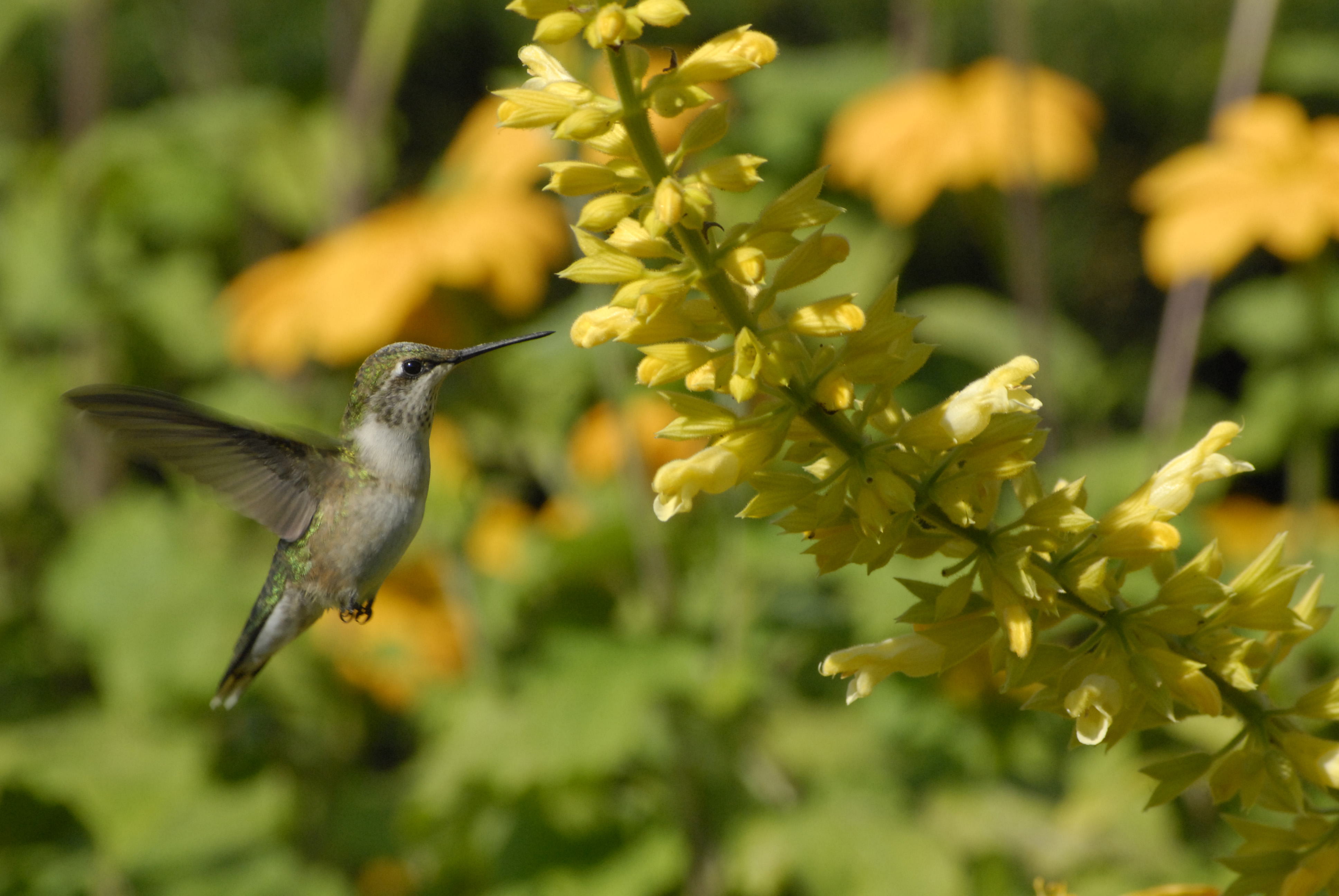A female ruby-throated hummingbird enjoys a sip of salvia nectar in the Circle Garden in summer