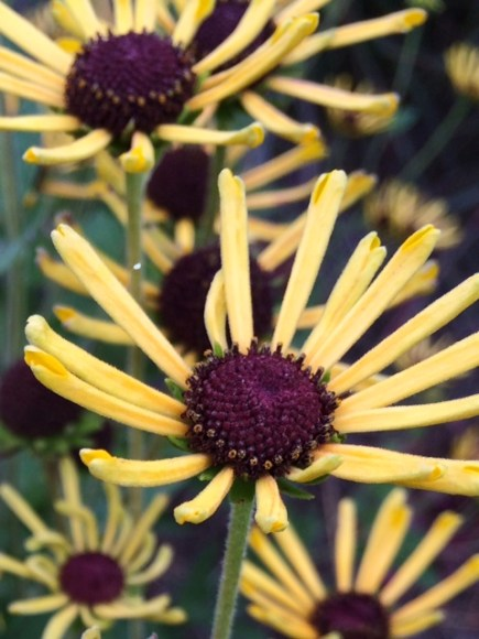 PHOTO: Rudbeckia subtomentosa 'Little Henry'