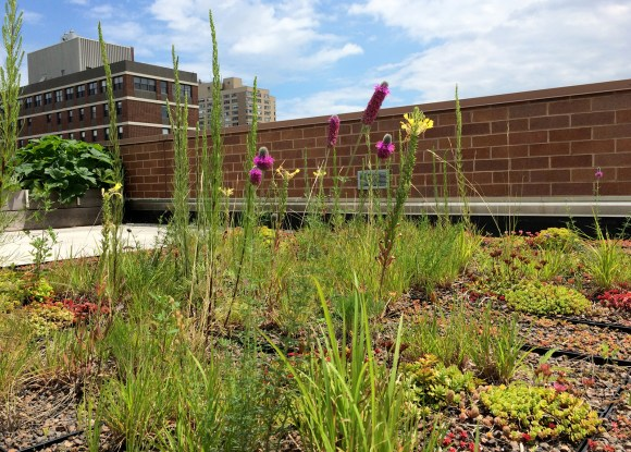 PHOTO: Shortgrass prairie plants grown on a rooftop garden at shallow depths.