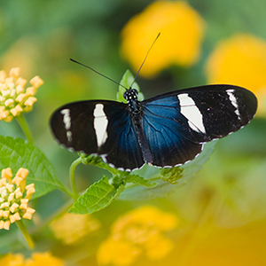 Small Blue Grecian (Heliconius sara)