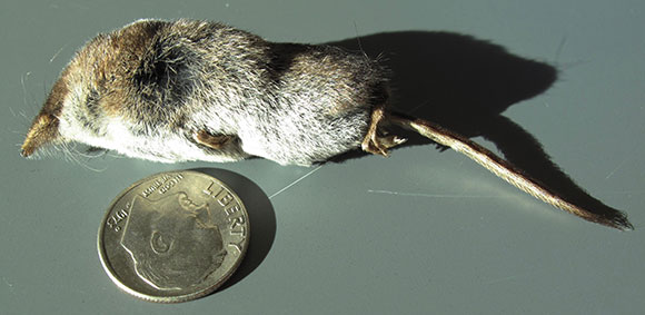 A long-tailed shrew, the masked shrew (Sorex cinereus).
