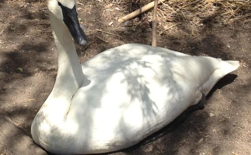 adult swan