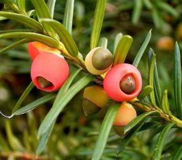 PHOTO: Closeup of yew berries showing seed/nut inside the berry.