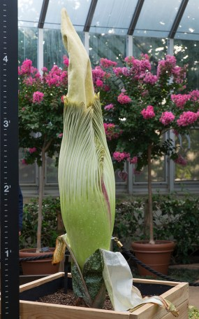 PHOTO: Titan arum (Amorphophallus titanum) a mere few days from bloom.