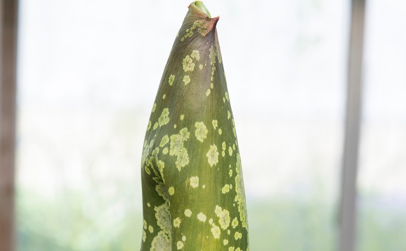 PHOTO: Titan arum (Amorphophallus titanum) in bud.
