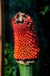 PHOTO: The mature fruit of this Amorphophallus titanum is now being collected for seed.