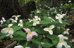 A ground-level view of forest trilliums in spring bloom