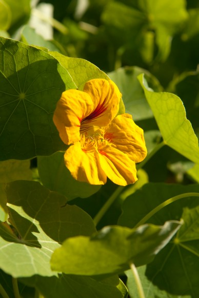 PHOTO: Tropaeolum majus 'Kaleidoscope Mix' nasturtium.