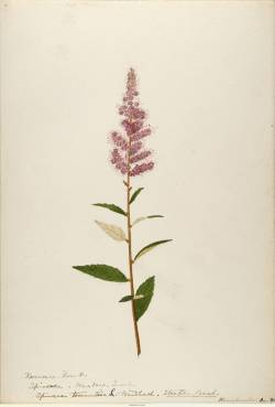 ILLUSTRATION: Selection from Water-color Sketched of Plants of North America 1888 to 1910.