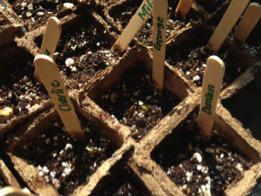 Week 1: Seeds are absorbing water.