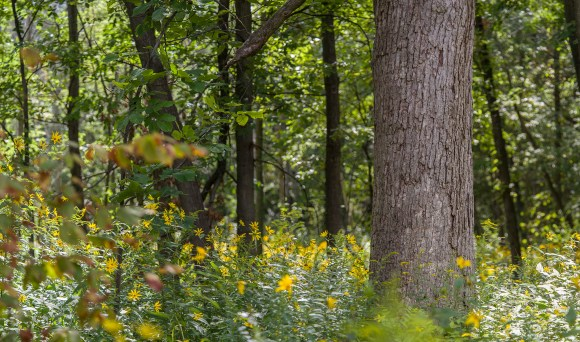 PHOTO: The McDonald woods shows healthy filtered sunlight and native plant understory growth after buckthorn removal.
