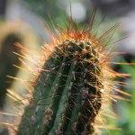 Apricot Glow cactus
