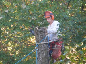 PHOTO: Jim Steffen in full protective gear including helmet and goggles, up in a tree with a chainsaw.