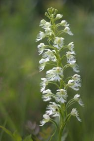 PHOTO: Eastern prairie fringed orchid (Platanthera leucophaea).