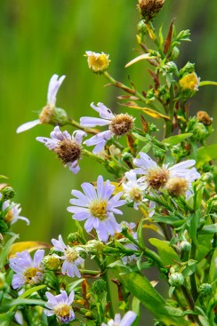 PHOTO: Bluebird smooth aster (Aster laevis 'Bluebird')