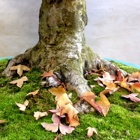 PHOTO: Bonsai trunk with fallen autumn leaves.