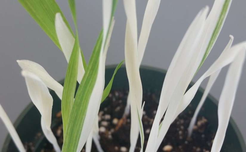 Science Activity: Albino Plants