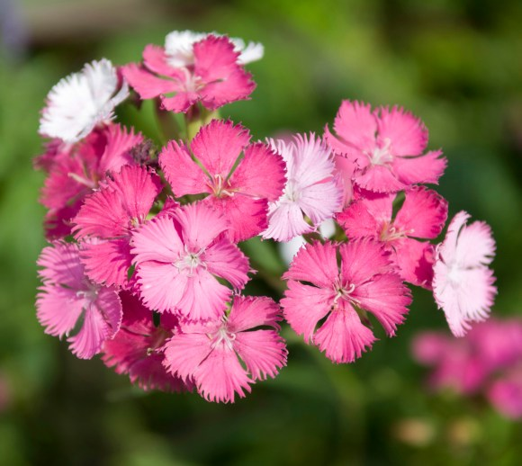 Dianthus barbatus 'Rose Magic' in the English Walled Garden