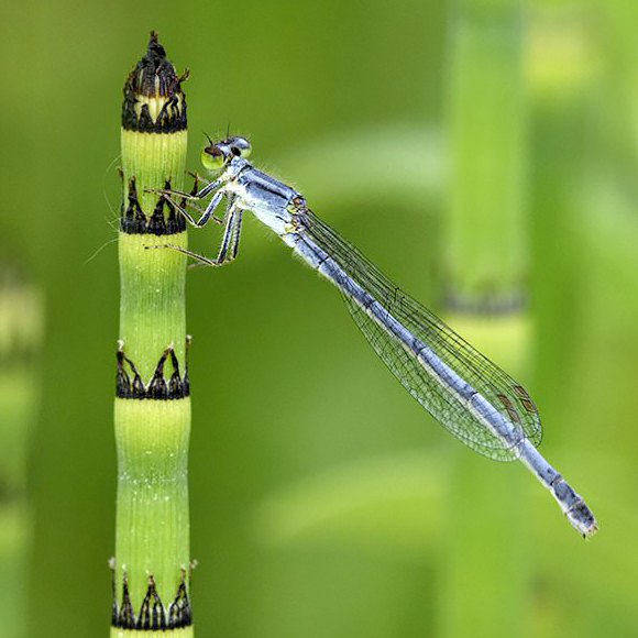 Eastern Forktail Damselfly