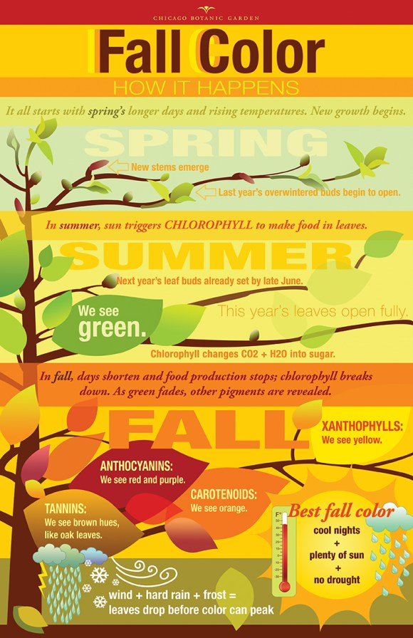 Fall color infographic: the chemicals in leave which make them turn different colors.