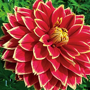 Formal decorative form dahlia