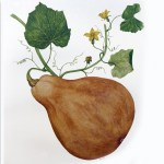 Gourd illustration by Sumié Hasegawa-Collins for Botanical Shakespeare: An Illustrated Compendium by Gerit Quealy