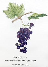 Grapes illustration by Sumié Hasegawa-Collins for Botanical Shakespeare: An Illustrated Compendium