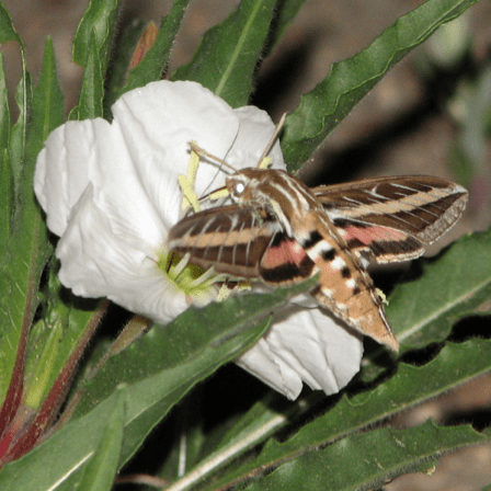 PHOTO: Hawkmoth in open primrose bloom.