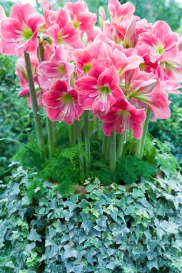PHOTO: A group planting of amaryllis, surrounded by ferns and English ivy.