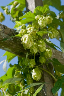"PHOTO: Hops ""cones"", the pollinated product ready for harvest."
