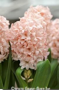 PHOTO: Hyacinthus orientalis 'Pink Elephant'.