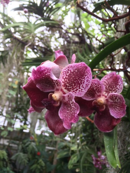 PHOTO: Vanda orchids in the greenhouse.