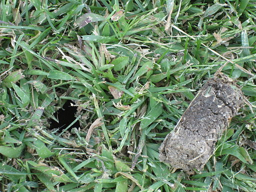 PHOTO: lawn plug after aeration