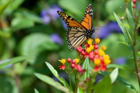 PHOTO: Monarch butterfly on scarlet bloodflower.