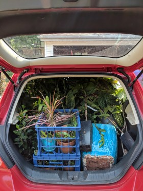 Weaver's trunk-load of houseplants.
