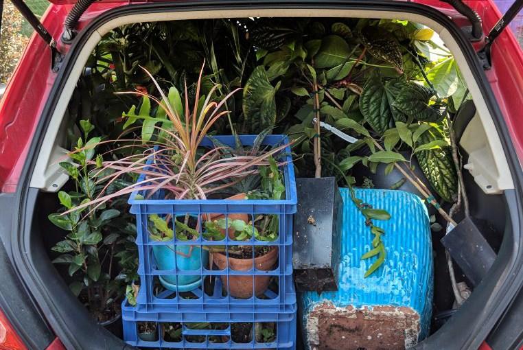 Moving Houseplants - Weaver's trunk-load of houseplants.