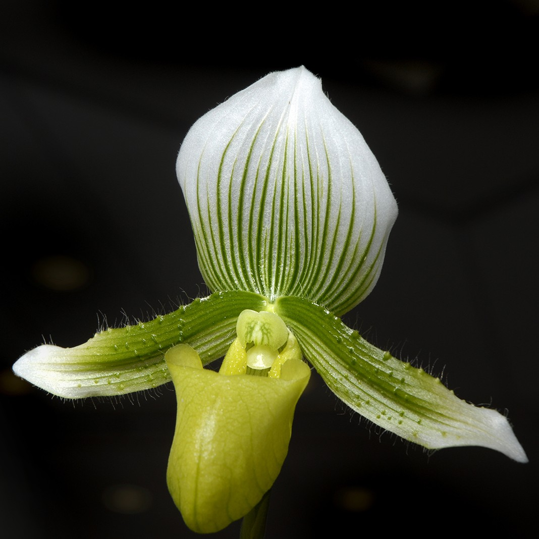 Repotting Orchids Part 2 Paphiopedilum My Chicago Botanic Garden