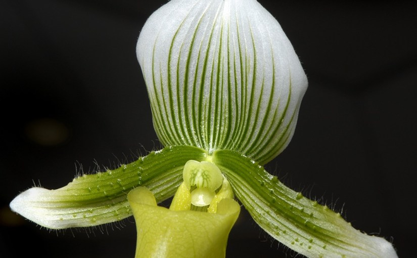 Repotting Orchids, Part 2: Paphiopedilum