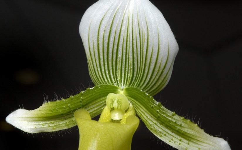 Repotting Orchids, Part 2: Paphiopedilum