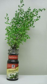 PHOTO: Oregano sprigs in an oregano spice jar.